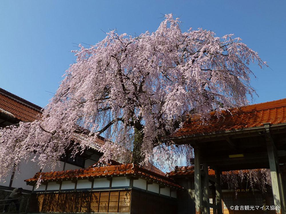 倉吉極楽寺の桜