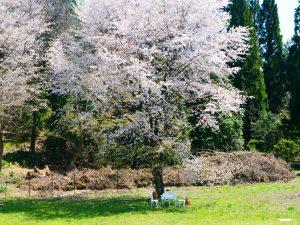 ネイ―ビーコテージの庭の大きな桜。GWに満開かな?