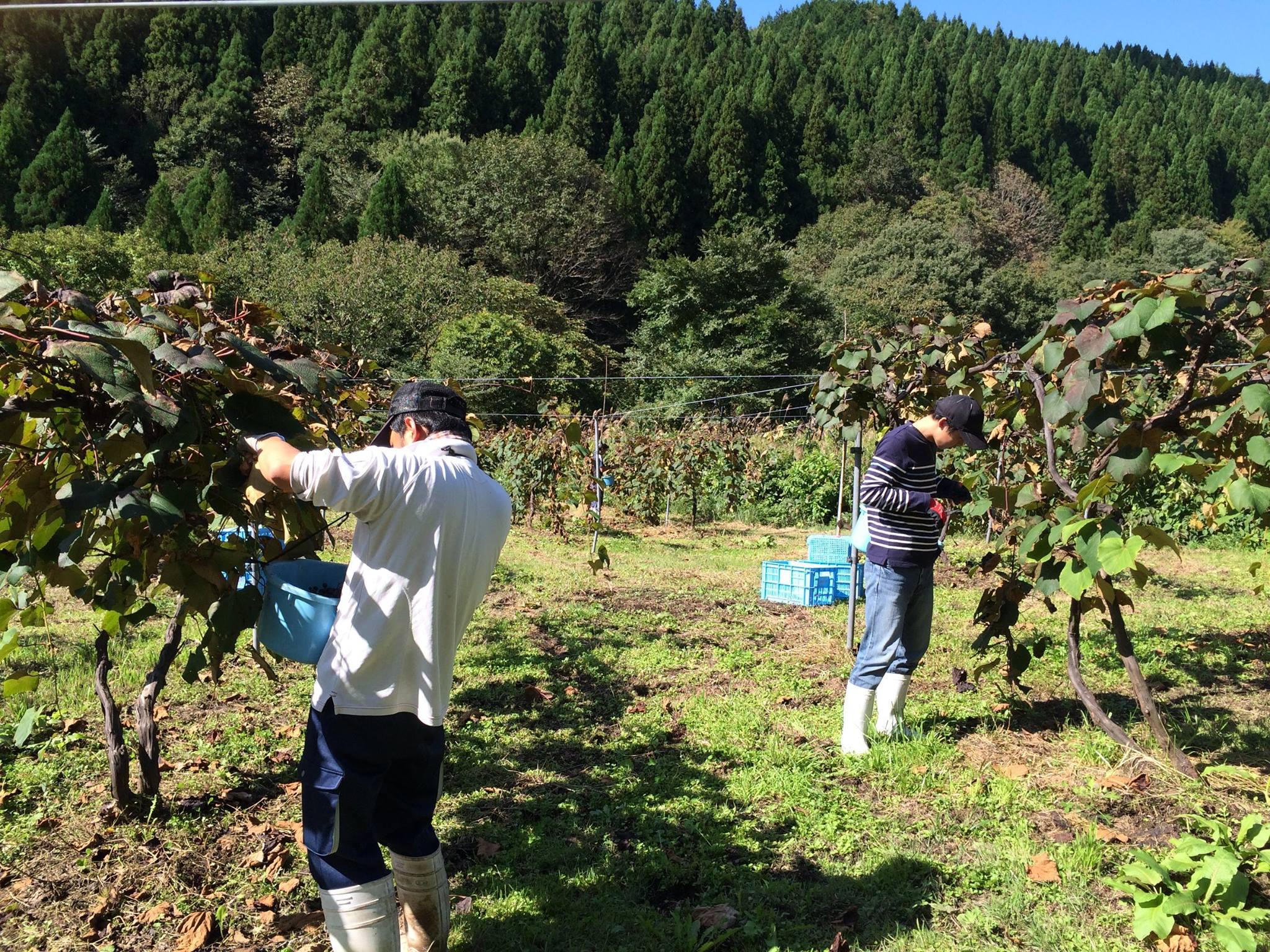 蒜山ワインヤマブドウ