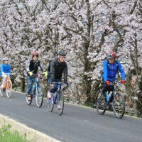 桜 サイクリング