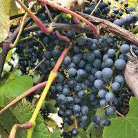 ヤマブドウ収穫体験